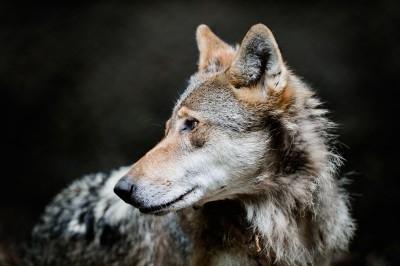 Fotografo naturalista ritrae un lupo nel bosco