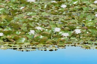 Scattare foto ai fiori di ninfea in palude