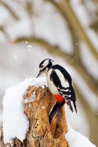 Fotografia di un picchio rosso maggiore alla ricerca di cibo in inverno